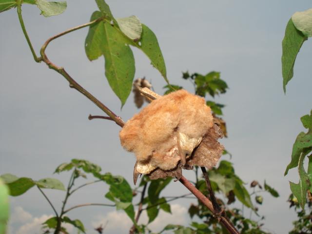 Coton biologique, lingerie en coton bio